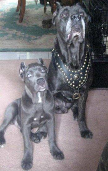 Royal Dog Harness Cane Corso Exclusive