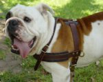 Tracking/Pulling Leather Dog Harness- english bulldog harness
