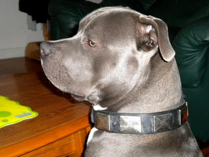 Handsome Raider showing off Impressive Design Leather Pitbull Collar