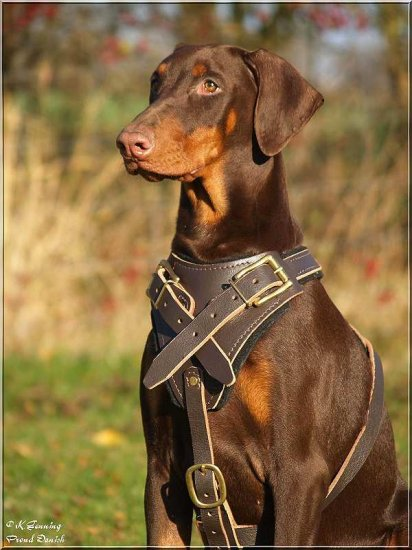 High Quality Leather Canine Harness for Attack Training - Fits Dobermans and Other Large Breed Dogs