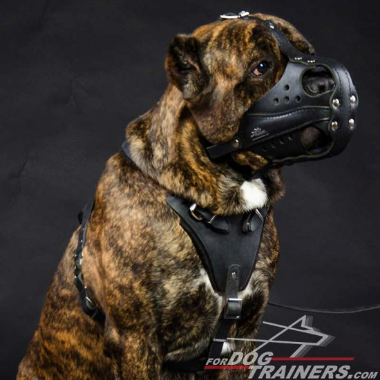 Cane Corso Dogs Working Muzzle for Everyday Training Walking