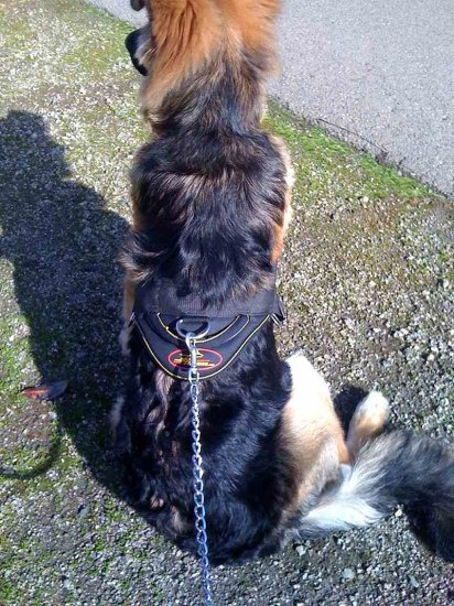 Dilbar wearing Nylon Dog Harness with Handle for German Shepherd