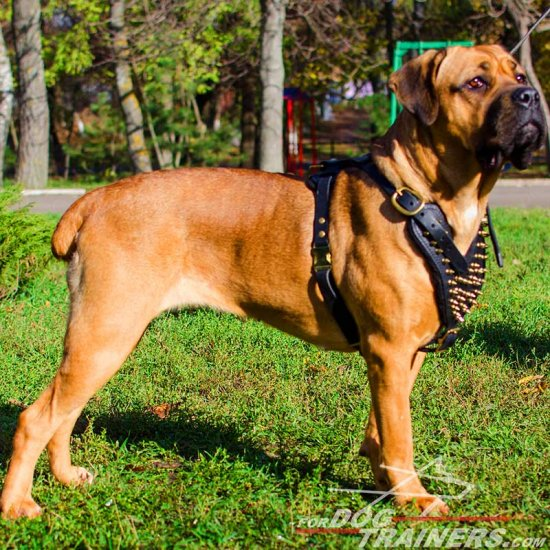 Designer Brass Spiked Cane Corso Harness for Canine Walking and Training