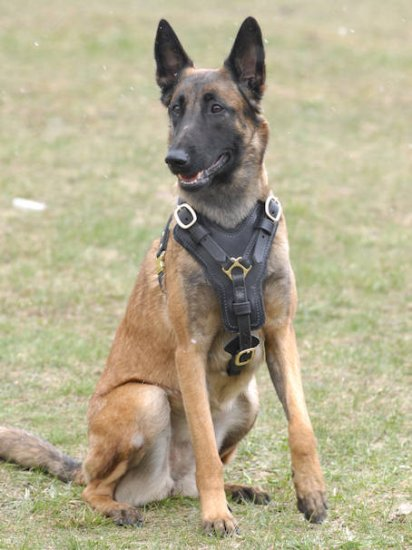 Exclusive Luxurious Handcrafted Padded Leather Dog Harness Malinois
