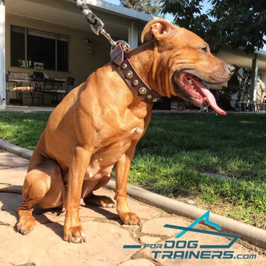 Tornado Has Gorgeous Look in Handmade Leather American Pit Bull Terrier Collar
