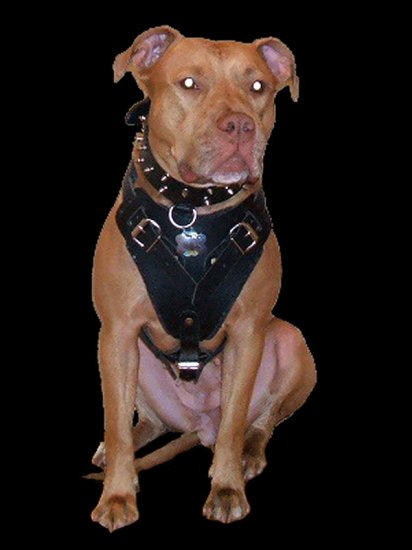 Agitation / Protection / Attack Leather Dog Harness Perfect For Your Pitbull H1_2