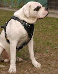 Agitation/Protection Leather Dog Harness for American Bulldog
