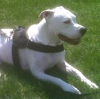 Annie wearing our exclusive weather dog harness for tracking / pulling Designed to fit American Bulldog- H6
