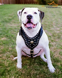 Athena American Bulldog Wears Her Studded Leather Harness with Proud and Grace