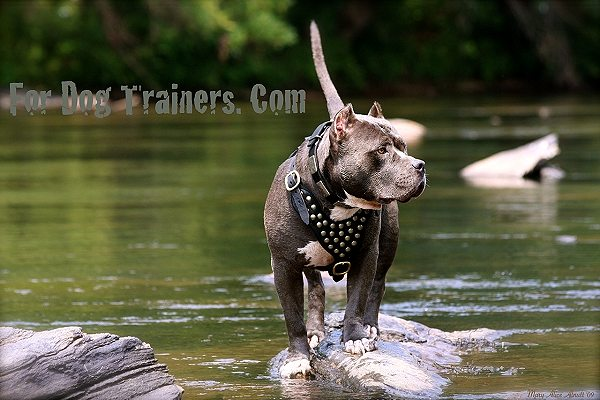 Pitbull Dave walking with his Leather Harness on