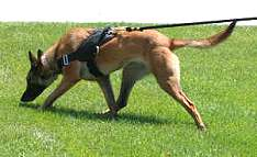Malinois dog harness