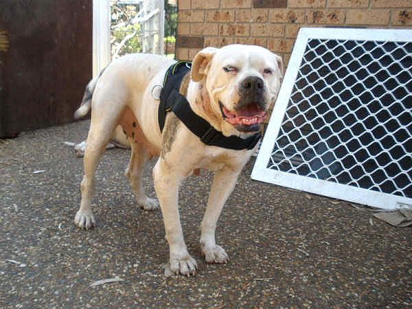 Pitbull dog nylon harness
