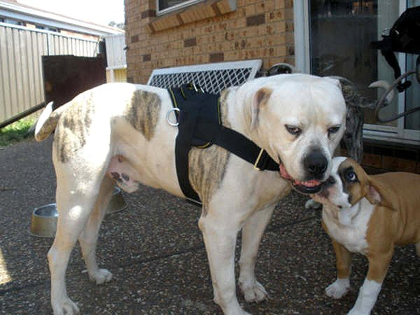 American Bulldog with tracking nylon harness on