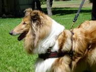 Collie dog harness