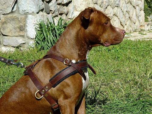Pitbull Leather Pulling Dog Harness with Side D-rings