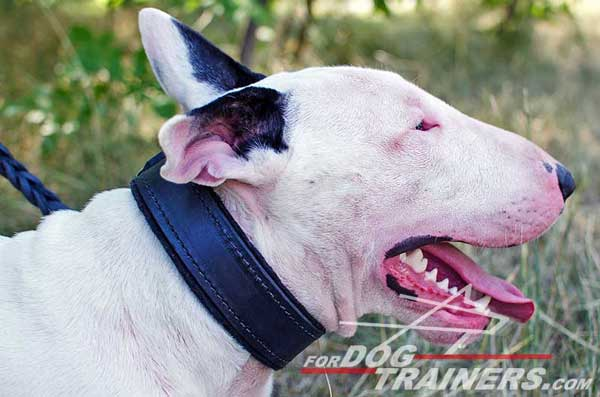 Bull Terrier Collar for Attack Work