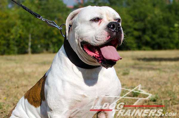 Wide American Bulldog Leather Collar