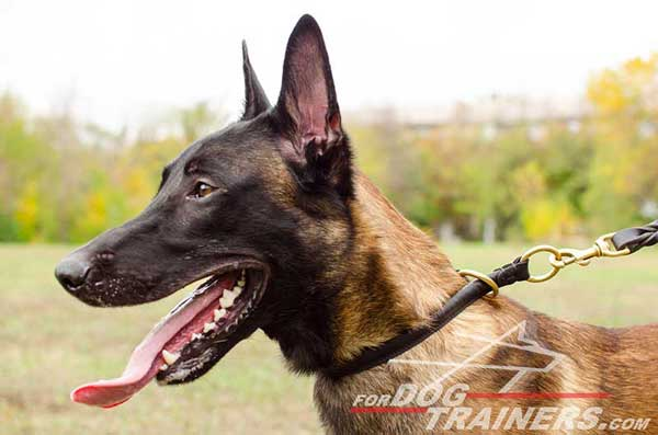 Leather Choke Belgian Malinois Collar for Obedience