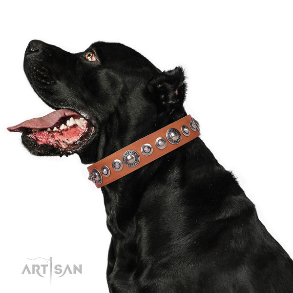 Cane Corso remarkable full grain leather dog collar with adornments