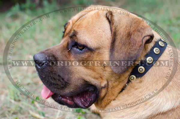 Pure Leather Dog Collar with Dotted Circles for Cane Corso
