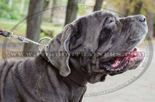 Mastino Napoletano Training Collar