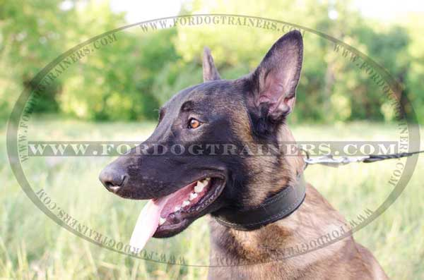 Belgian Malinois Padded Leather Collar