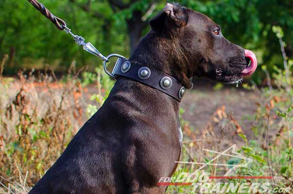 Decorated leather collar with silver conchos for Pitbull