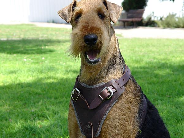 Leather Terrier Harness for Dog Training