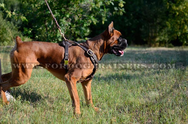 Boxer Leather Harness with Studs for Everyday Walks