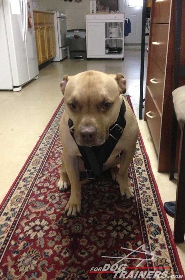 Super comfortable everyday walking leather harness for Pitbull