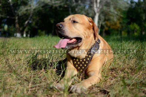 Studded Leather Canine Harness for Walking and Training
