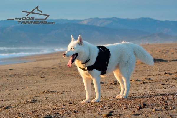 Any Weather Dog Harness for Husky Walking