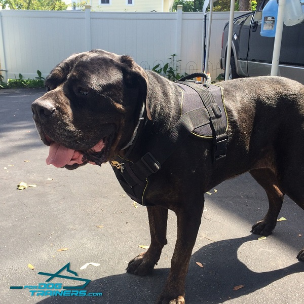 Cane Corso Nylon Harness With Cushion-Like Chest Plate