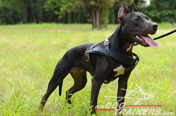 Extra comfortable pulling leather Pitbull harness
