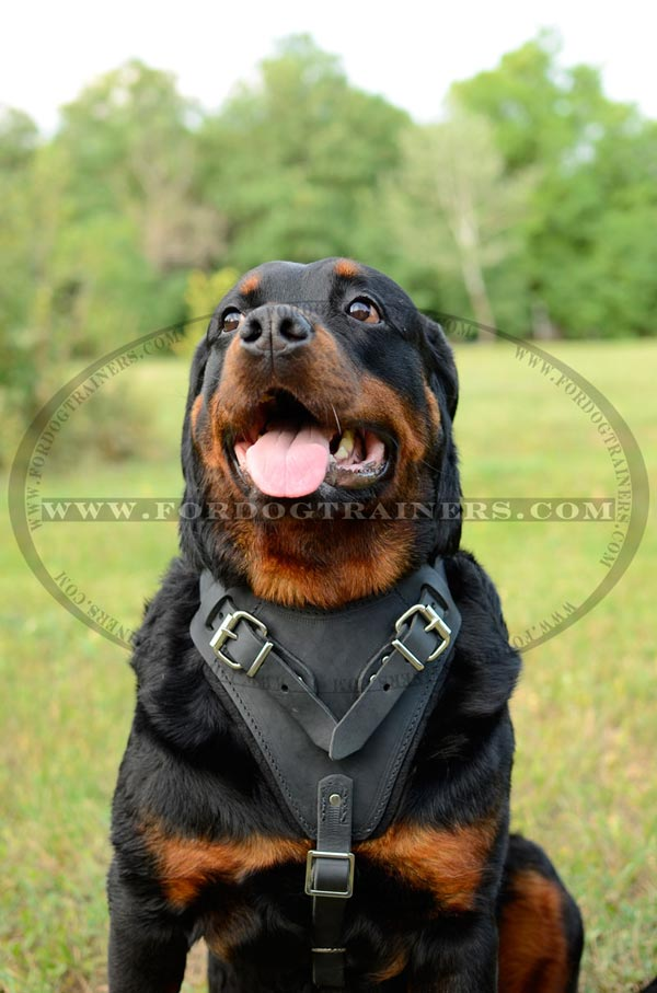 Easy Adjustable Leather Harness for Large Dogs as Rottweiler