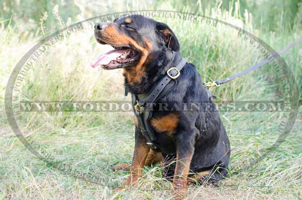 Y-shaped training dog harness for Rottweiler