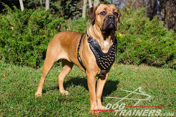 Cane Corso Black Leather Harness Spiked for Walking in Beauty
