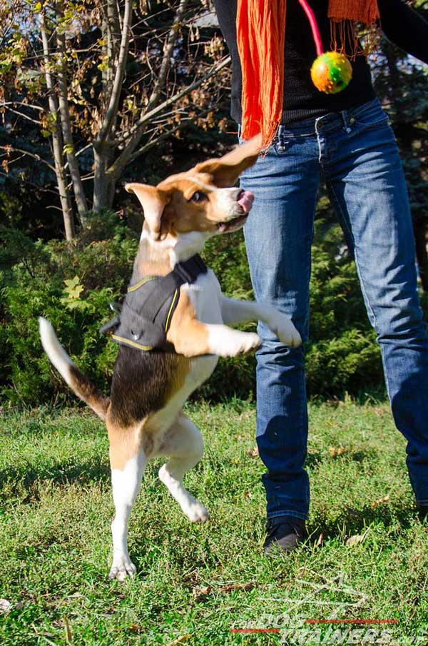Pulling Nylon Dog Harness Allows The Full Motion of The Beagle's Head, Shoulders, Neck, Legs