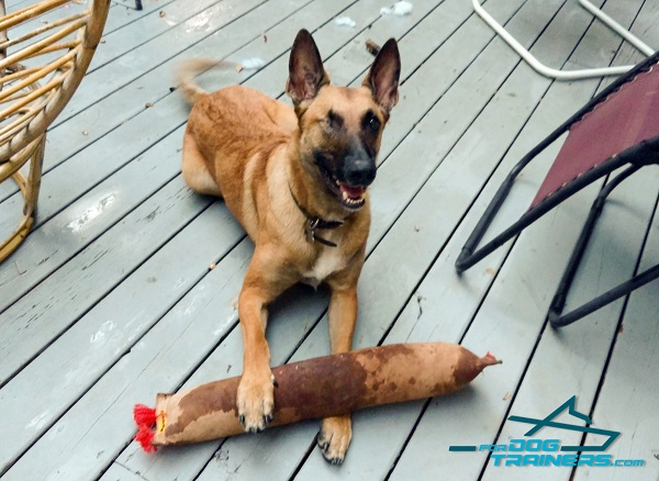 Belgian malinois Bite Tug with 2 Stitched Handles