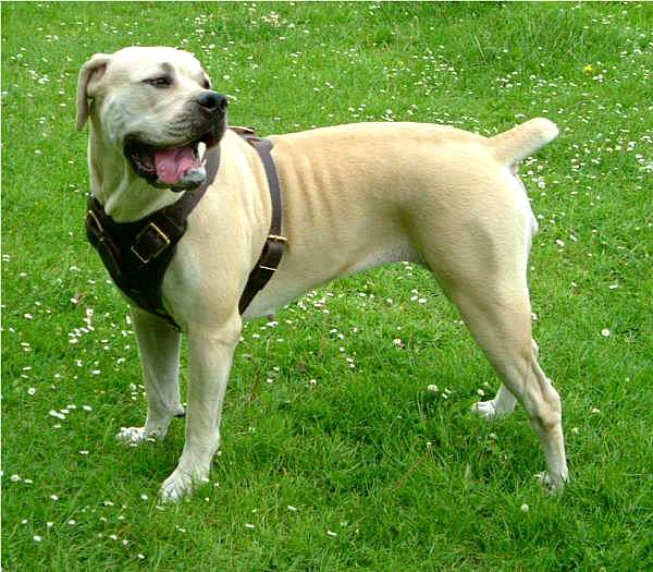 Agitation / Protection / Attack Leather Dog Harness Perfect For Your African Boerboel H1
