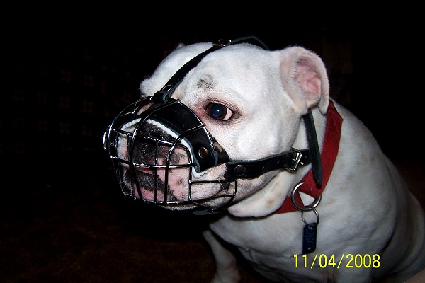 Annie wearing our exclusive Basket Wire Dog Muzzle Light For English Bulldog- R2 - M4light