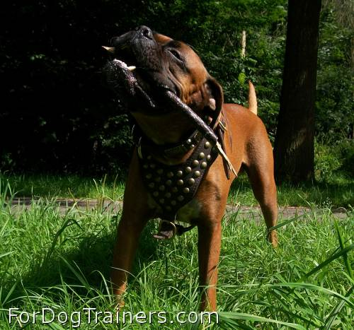Boris is elegant in Studded leather dog harness - H15
