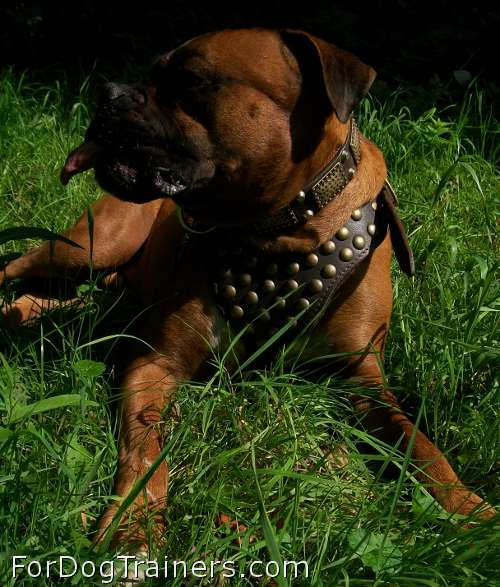 Newly purchased studded dog harness