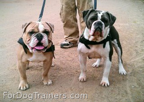 Bulldogs in new harnesses