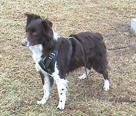 Joey wearing our exclusive Agitation / Protection / Attack Leather Dog Harness Perfect For Your Australian Shepherd H1
