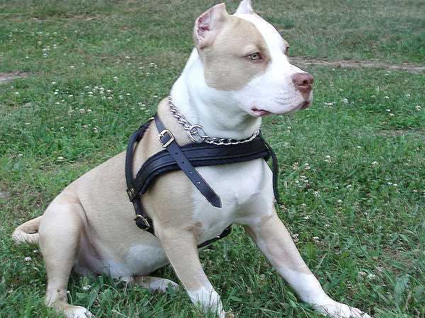 Easy Adjustable Strong Leather Dog Harness for Pitbulls - No Pull Harness