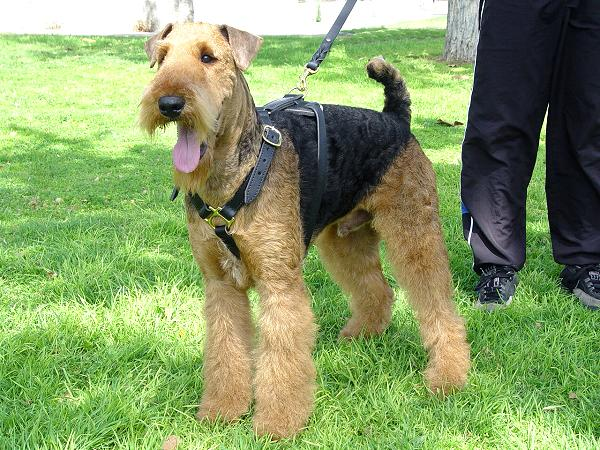 Best Tracking Leather Airedale Terrier Harness