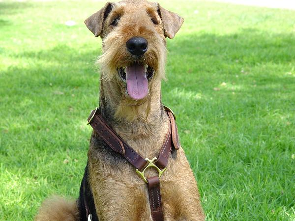 Slim Leather Airedale Terrier Harness