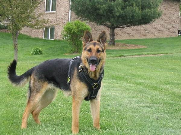 Felt Padded Leather Dog Harness for German Shepherd